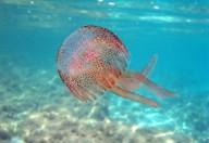 Estate: caldo, mare e meduse, una combinazione sempre più frequente